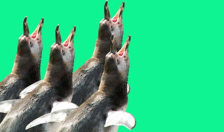 squeal: Canto pinguins