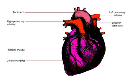 Color human heart anatomy illustration. Contains legend