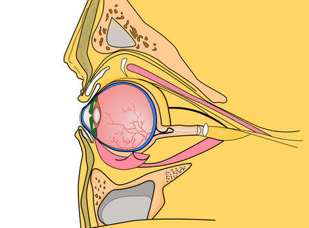 human eye section. Anatomical color illustration