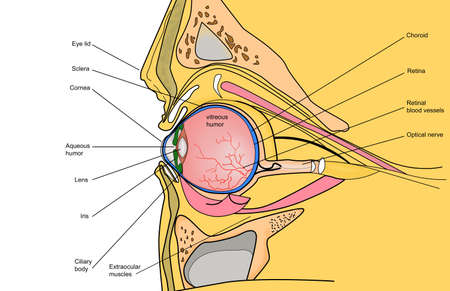 eye anatomy: human eye section. Anatomical color illustration