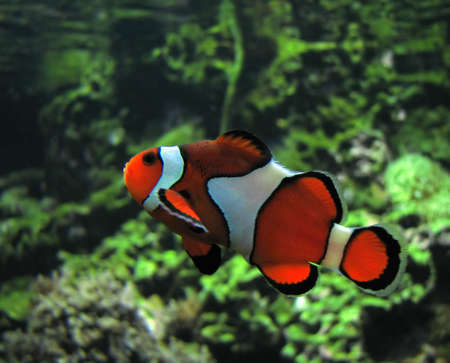 ocellaris: Clown Fish. Scientific name: Amphiprion Ocellaris. Color image