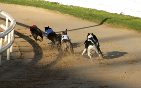 Greyhound dogs running fast on track Standard-Bild