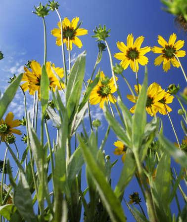 bellow: Las flores amarillas de abajo, el cielo azul Foto de archivo