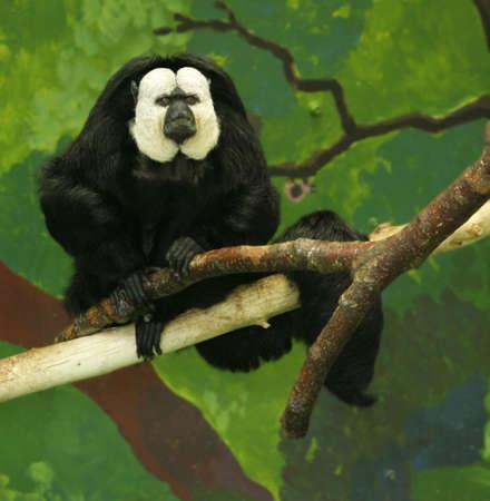 saki: White faced  Saki monkey (Pithecia pithecia) resting on a tree branch