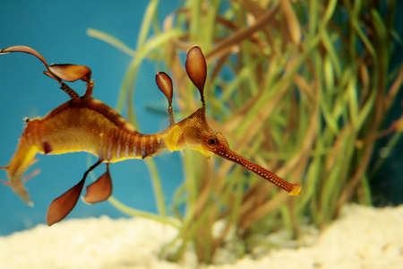 Leafy sea dragon (from the seahorse family) swimming in crystal blue water
