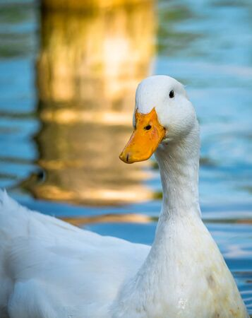 Close up with a Goose bird. Portrait of a white goose.