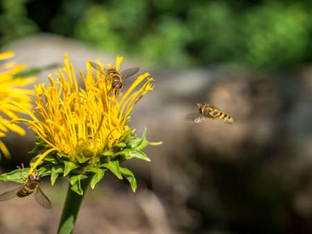 Bees collecting pollen from a yellow flower Telekia speciosa or Heartleaf oxeye Archivio Fotografico
