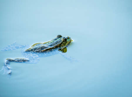 A common water frog or the edible frog swimming in the blue water Banco de Imagens