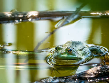 A common water frog or the edible frog sitting in the green water. Banco de Imagens