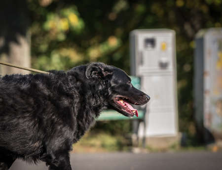 Black mixed breed dog on a leash in the park.