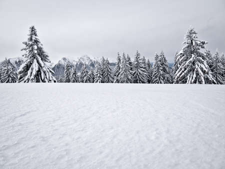 Winter landscape with pine trees covered with fresh white snow. Carpathian Mountains in Romania