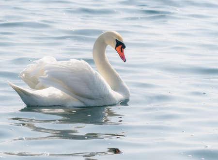 Graceful white swan (Cygnus olor) swimming on a lake or sea