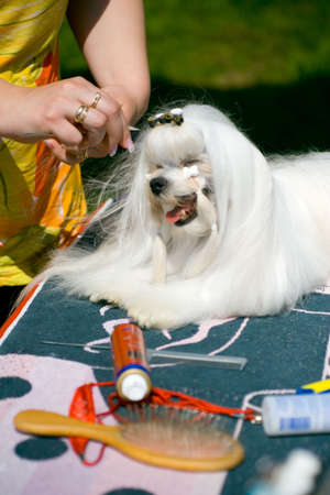 cute westie: Puppy at pet stylist Stock Photo