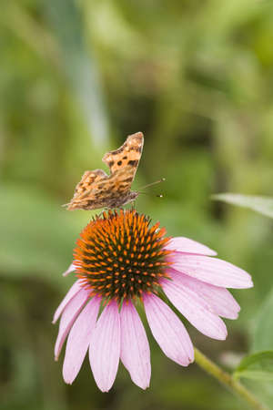 butterfly over the flower of echinacea