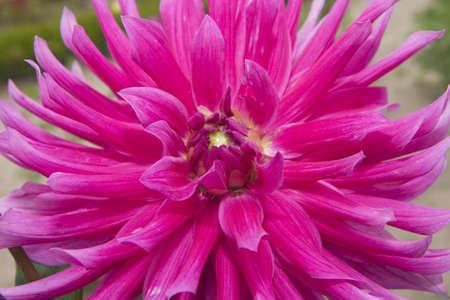pink dalia close up Stock Photo