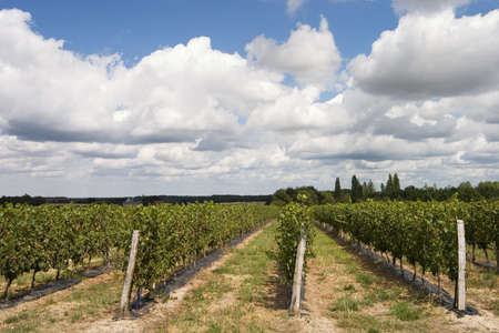 french wineyard Stock Photo - 255605