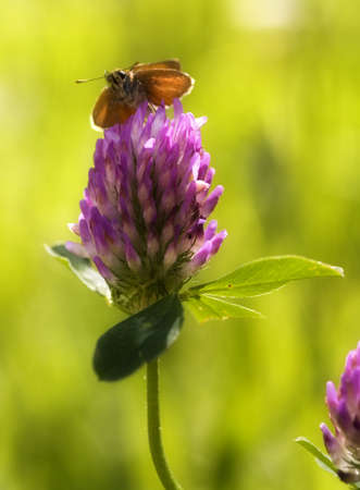 insect on clover flower with blurred background