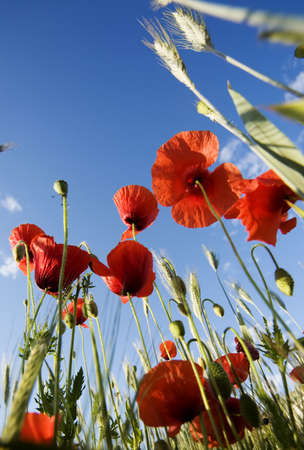 wheatfield: Papaver rhoeas - poppies Stock Photo