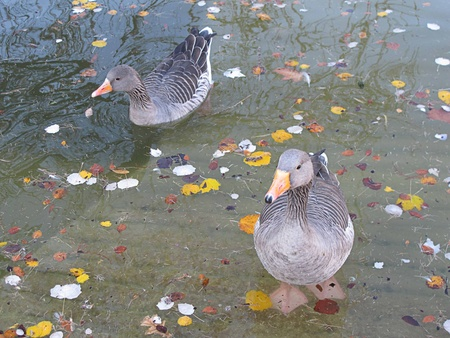 ducks floating in the water with fall leaves                             Stock Photo