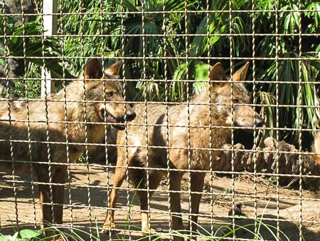 caged wolves Stock Photo