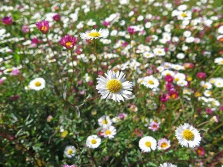 white daisies: garden of white daisies Stock Photo