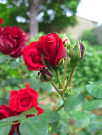 rose and buds