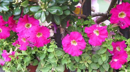 petunias: pink petunias