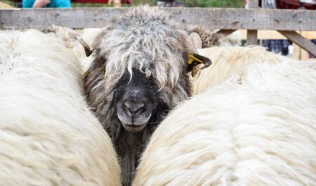 Sheepfold view from above or closeup. Cute portrait of male sheep looking at the camera. Hipster sheep bad fur animal for sale during country fair market.Beautiful animal shepherd's festival rural