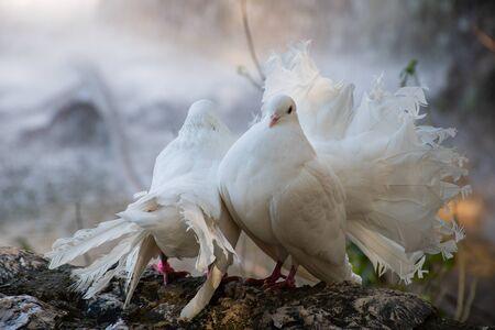 White beautiful pigeons, dove standing near waterfall in nature