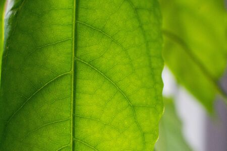 Green leaves background. Leaf texture, green fresh leaf veins macro texture nature background