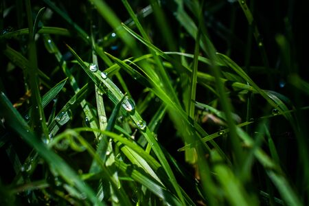 The morning dew water droplets on green fresh grass in the garden