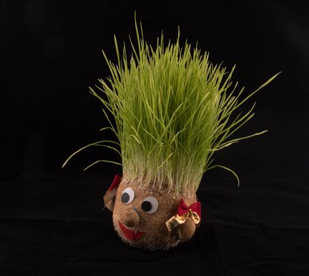 Germinated wheat, a tradition of Saint Andrew's Day. Handmade doll stuffed with wood shavings having wheat sprouts as hair.St. Andrews day national holiday, end of November in Romania. Sprouting wheat Imagens