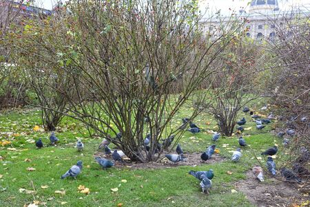 Many pigeons feeding on grass in Vienna park. Bags with seeds to feed wild birds animals during winter cold time