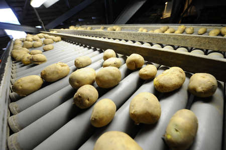 Potato sorting and processing line photo