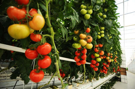 Hydroponic tomatoes growing in a greenhouse Imagens