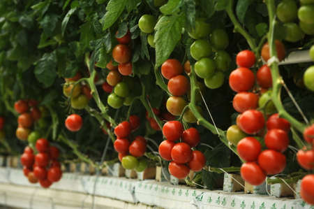 cherry tomato: Hydroponic tomato growing in a greenhouse Stock Photo