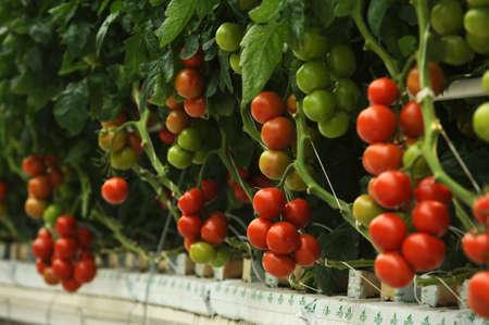tomate cherry: Tomate hidrop�nico crece en un invernadero Foto de archivo