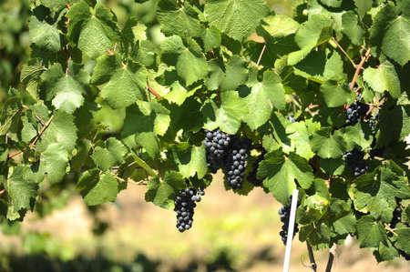 Black grapes in the vineyard in a sunny day photo