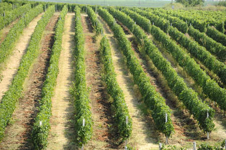 Vineyard rows in a sunny day photo