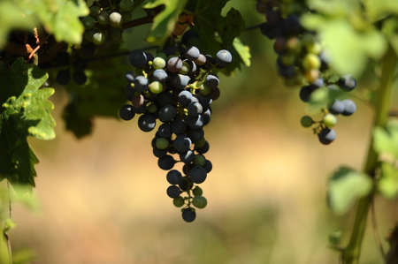 Black grapes in the vineyard in a sunny day which will be used for wine photo