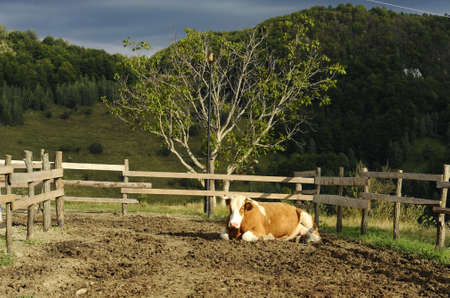 ecological: Ecological cow farm Stock Photo