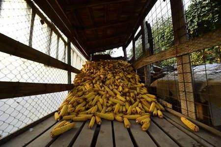 elote: Maduro ma�z mazorca - cosecha de oto�o