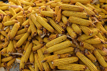 Ripe cob corn - autumn harvest