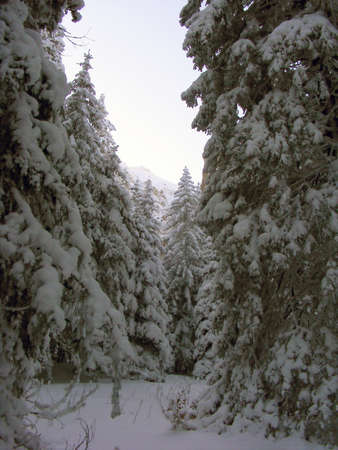 coniferous: Coniferous forest in the winter