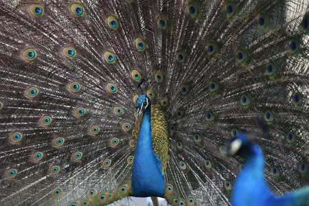 eyespot: The train tail of an Indian Peacock Stock Photo