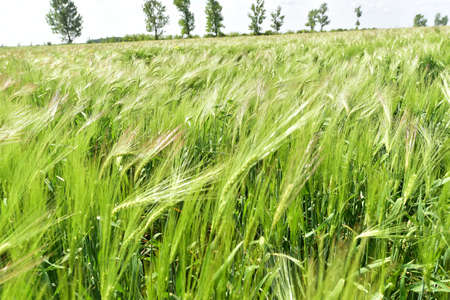 Green wheat field in the summer