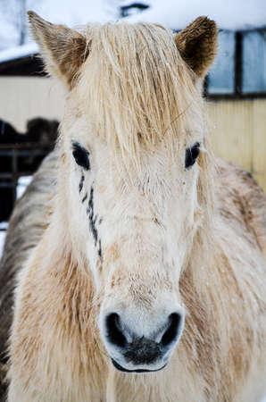 barns winter: Portrait of white Icelandic horse, Iceland