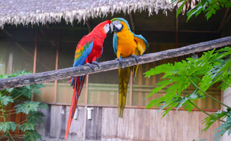 Pair of red-and-green and blue-and-yellow Macaws sitting together in Tambopata National Park, Peru Stock Photo