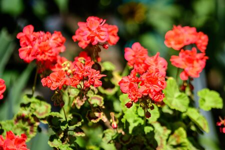 Group of vivid red Pelargonium flowers (commonly known as geraniums, pelargoniums or storksbills) and fresh green leaves in a pot in a garden in a sunny spring day, multicolor natural texture Standard-Bild