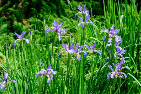 Close up of many delicate blue iris flowers on green, in a sunny spring garden, beautiful outdoor floral background photographed with soft focus